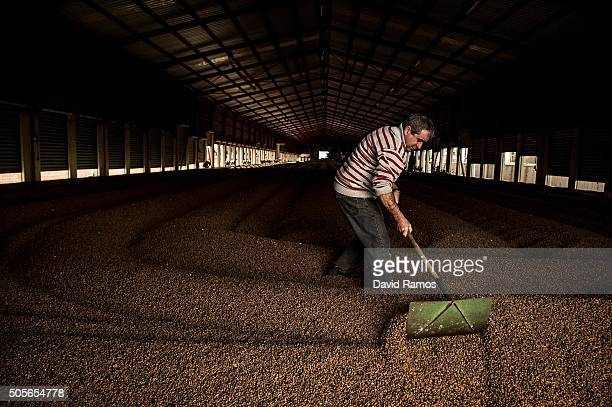 An employee works drying 'chufas' at the Greses SA dryer warehouse on January 18 2016 in Valencia Spain According to the Valencia's Tiger Nut...