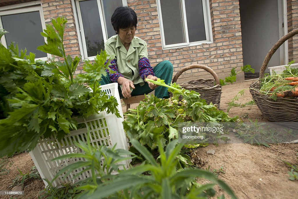 An employee works with produce at a farm that practices organic farming techniques in Beijing, China, on Tuesday, May 22, 2012. China's farmland shrank 8.33 million hectares (20.6 million acres) in the past 12 years, Chen Xiwen, Premier Wen Jiabao's top agriculture adviser, said last year. Photographer: Nelson Ching/Bloomberg via Getty Images