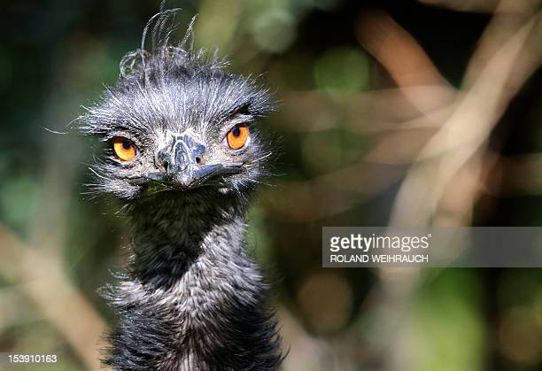 An Emu bird is pictured on October 11 2012 in its outdoor enclosure in the Duisburg zoo northwestern Germany Emus are the second largest member of...