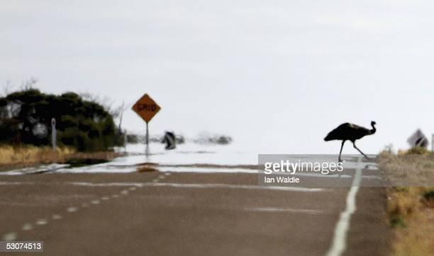 An Emu crosses the highway June 12 2005 near Woomera Australia
