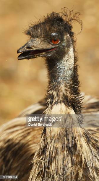 An Emu looks onwards at the new Outback Exhibit at the London Zoo on August 14 2008 in London England The Mappin Terrace once home to ZSL London...