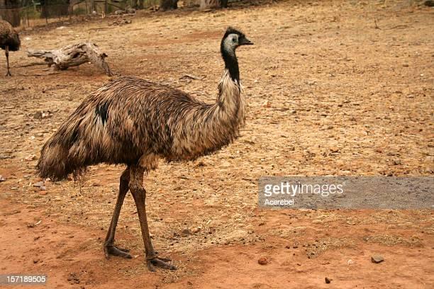 An emu standing in a dirt field