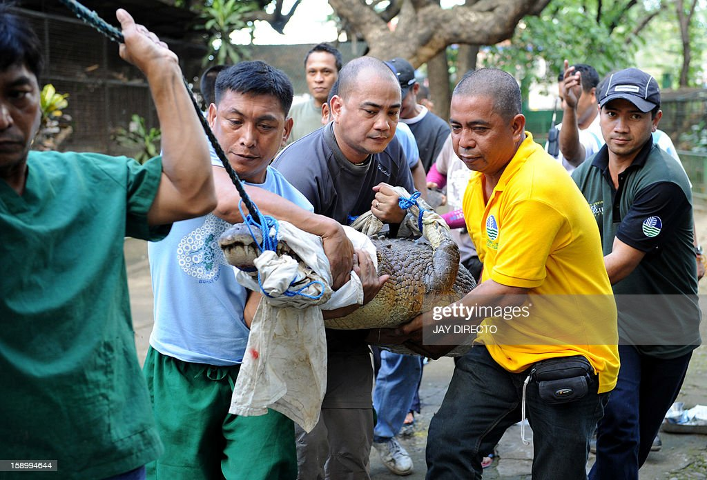 An endangered and wounded 3.3-metre (11-ft) saltwater crocodile is carried at the Protected Areas and Wildlife Bureau (PAWB) in Manila on January 5, 2013 after being caught in the southern Philippines. The crocodile, which was reportedly flown from Sulu in the southern Philippines on board a C-130 Philippine Air Force plane, was treated by a veterinarian expect at the PAWB, but there was no official word to what will happen to the reptile after treatment.