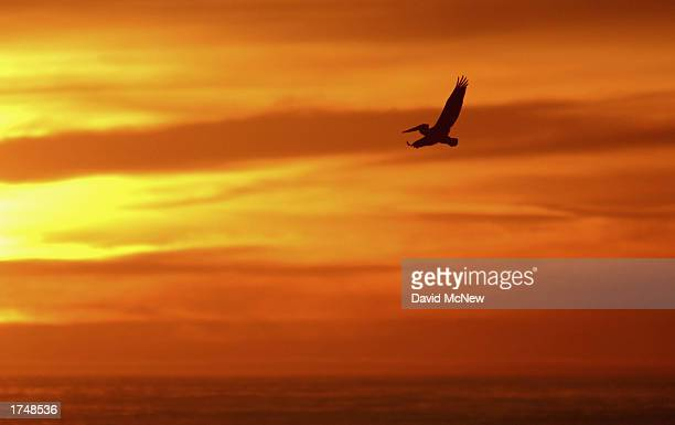 An endangered California Brown Pelican soars over the ocean at sunset on January 27 2003 in La Jolla California Mutilations and killings of the...