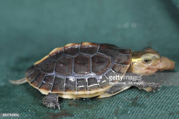 An endangered Chinese turtle that has been born at Bristol Zoo