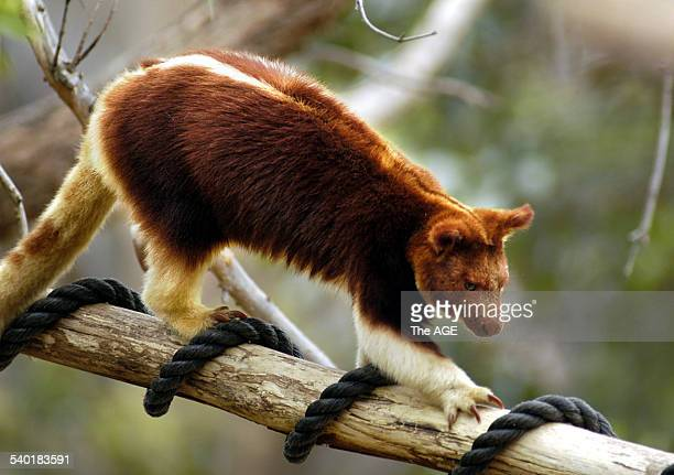 An endangered Goodfellow's tree kangaroo from Papua New Guinea settles down in his new home at Melbourne Zoo The exhibit opened yesterday by...