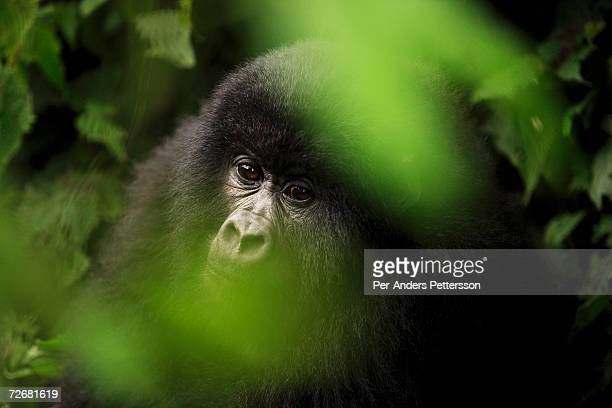 An endangered mountain Gorilla looks through some bushes on September 30 2006 in the Virunga National Park outside Goma DRC Only bout 380 of these...