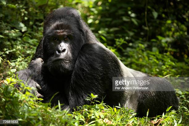 An endangered mountain Silverback Gorilla rests in the forest on September 30 2006 in the Virunga National Park outside Goma DRC Only about 380 of...