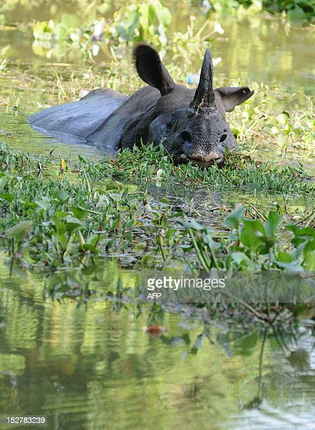 An endangered one horned rhinoceros swims through flood waters at the Kaziranga National Park about 250 kilometers east of Guwahati on September 26...