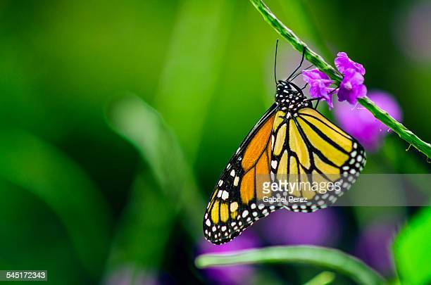 An Endangered Species: The Monarch Butterfly