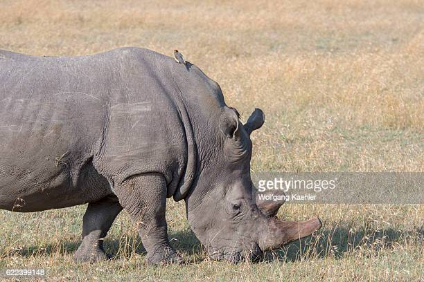 An endangered white rhinoceros or squarelipped rhinoceros with the keratin of the horn removed to prevent poaching at the Ol Pejeta Conservancy in...