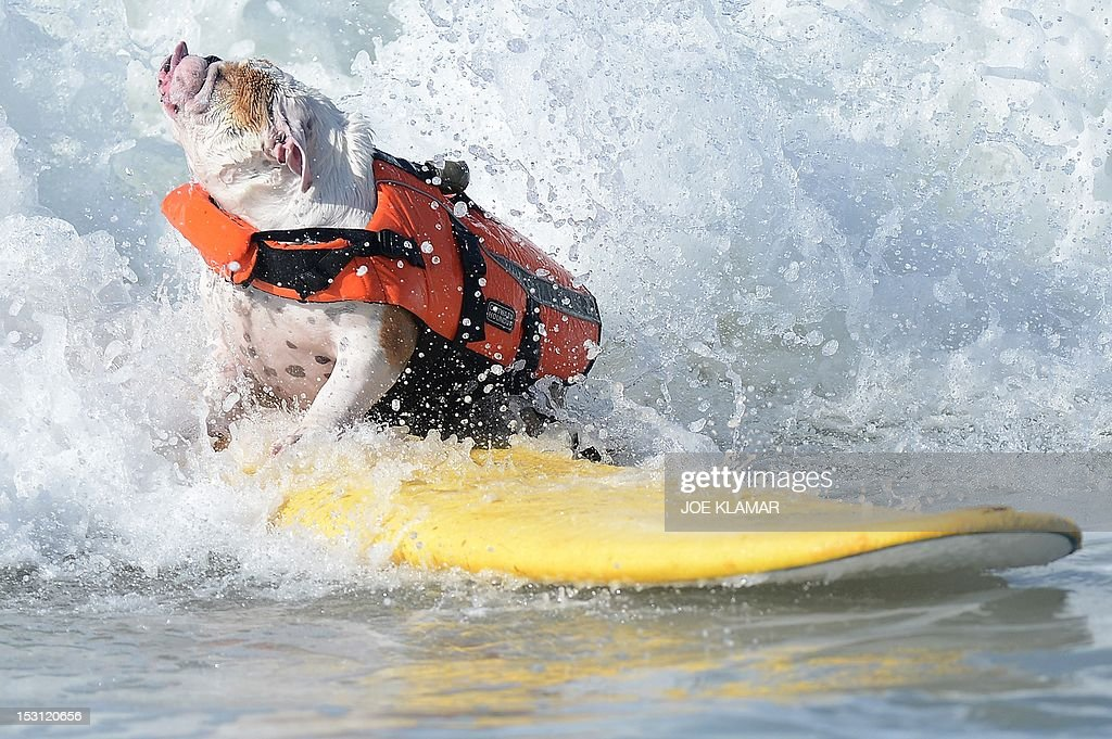 An English Bulldog fights a wave during the annual Surf City Surf Dog competition at Huntington Beach in California on September 30, 2012. Some 48 dogs took part in the event, watched by 1,500 spectators.