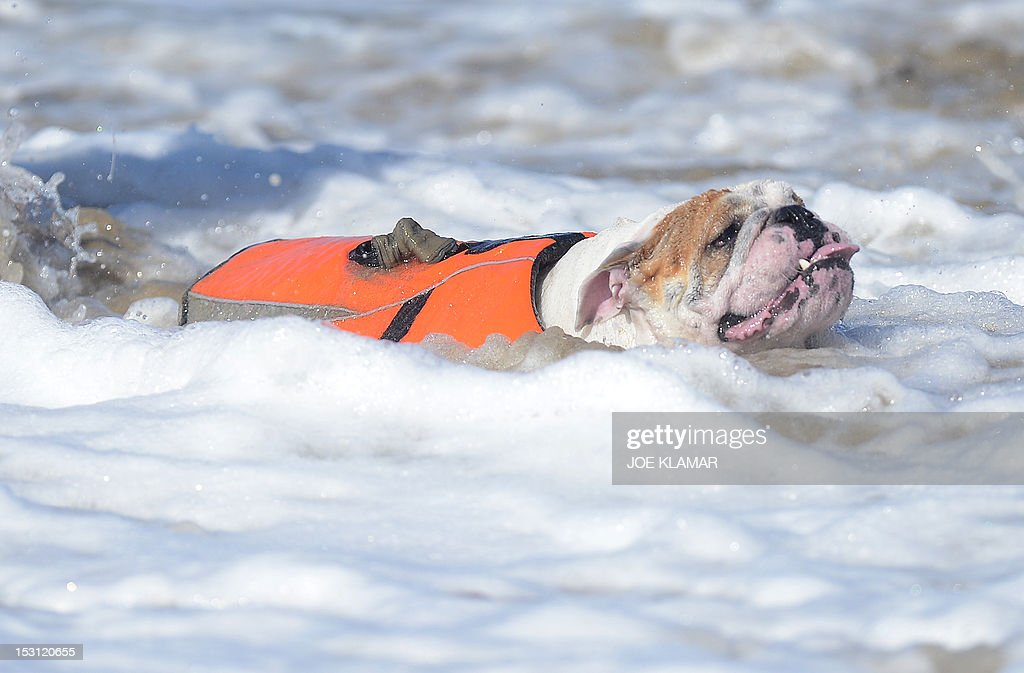 An English Bulldog fights the waters of the Pacific Ocean during the annual Surf City Surf Dog competition at Huntington Beach in California on September 30, 2012. Some 48 dogs took part in the event, watched by 1,500 spectators.