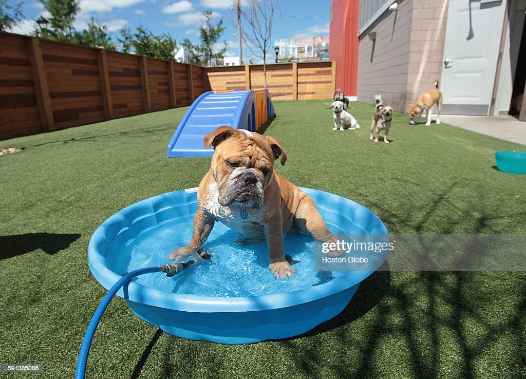 An English bulldog in the pool at the dog daycare center at One North of Boston in Chelsea Mass Aug 22 2016 Fetch by the Dogfather an inhouse doggie...