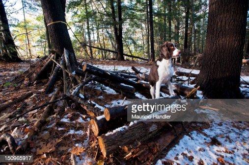 An English springer spaniel, alert in the woods near Freeport, Maine. : Photo