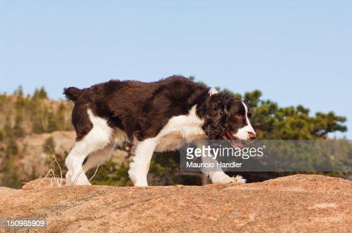 An English springer spaniel on a granite boulder, Acadia National Park. : Stock Photo