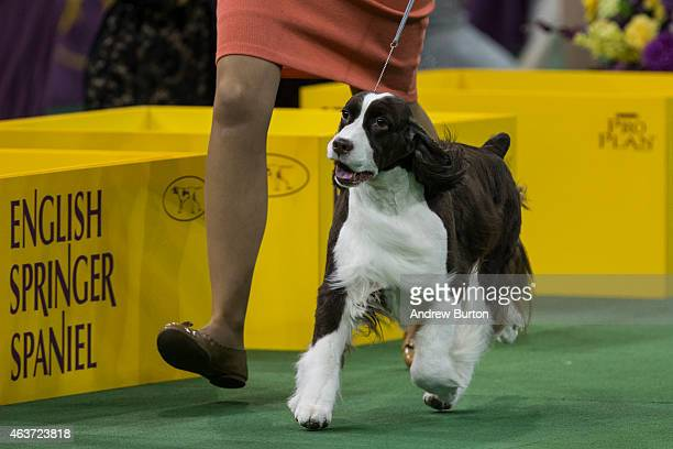 An English Springer Spaniel walks during the Sporting Group round of the Westminster Kennel Club dog show on February 17 2015 in New York City The...