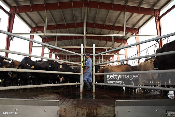 An Engro Foods Ltd employee monitors ear tags of cows brought in for milking in the milking parlor of the company's dairy farm in Nara Sindh Pakistan...
