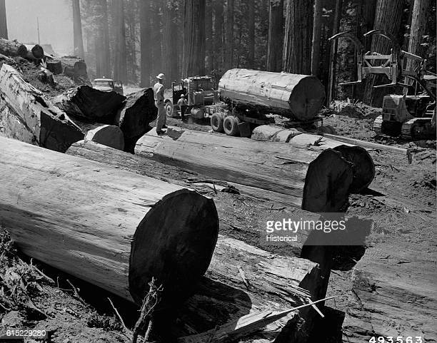 An enormous redwood log sits on a truck ready to be taken to a sawmill The gross scale of this log is 5230 board feet Other logs rest by the side of...