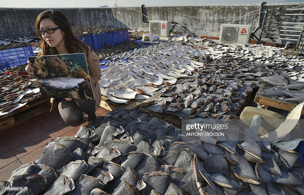 An environmental activist holds a picture of a dead and finned shark next to shark fins drying in the sun covering the roof of a factory building in Hong Kong on January 2, 2013. Environmentalists and other concerned groups have raised concerns that the over-harvesting of fins is causing an enviormental calamity. Hong Kong is one of the world's biggest markets for shark fins, which are used to make soup that is an expensive staple at Chinese banquets. AFP PHOTO / Antony DICKSON