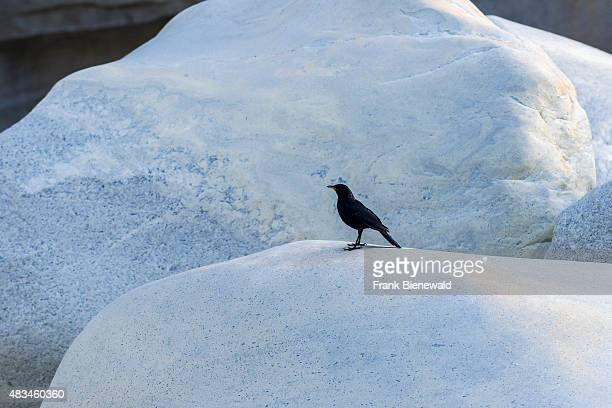 GANGOTRI UTTARAKHAND INDIA An Eurasian Blackbird is sitting on a stone of Gangotri Waterfall the place where the holy river Ganges first appeared on...