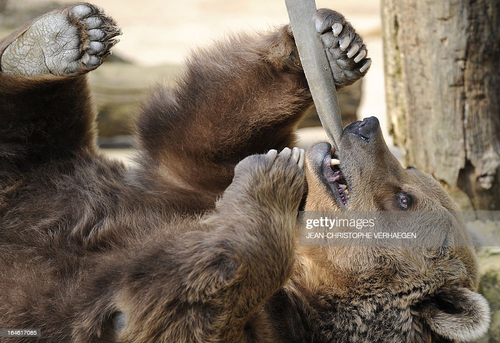 An Eurasian brown bear plays with a strap on March 25, 2013 at a zoological park the eastern French city of Amneville. AFP PHOTO / JEAN-CHRISTOPHE VERHAEGEN
