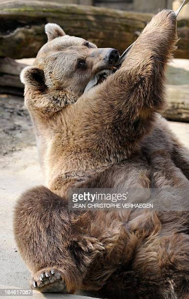 An Eurasian brown bear plays with a strap on March 25 2013 at a zoological park the eastern French city of Amneville AFP PHOTO / JEANCHRISTOPHE...