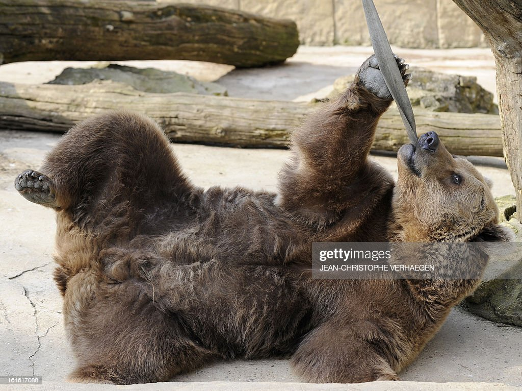An Eurasian brown bear plays with a strap on March 25, 2013 at a zoological park the eastern French city of Amneville.