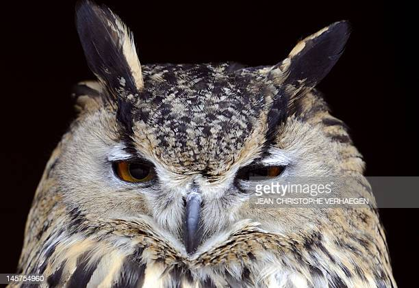 An Eurasian EagleOwl is pictured at the zoo of the French eastern city of Amneville on June 5 2012 AFP PHOTO / JEANCHRISTOPHE VERHAEGEN