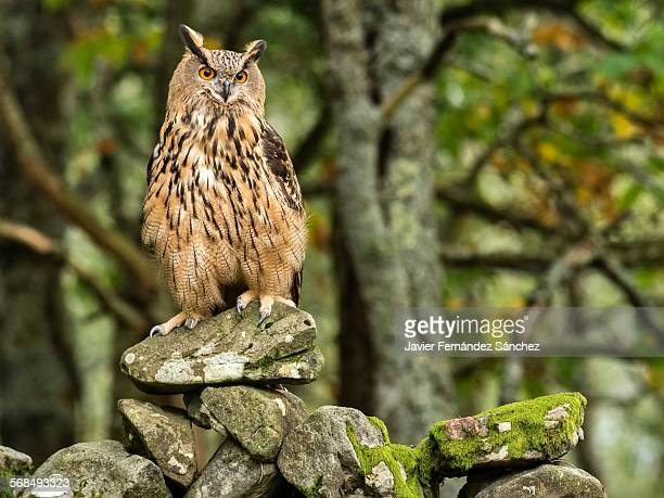 An eurasian eagle-owl on an old stone wall.