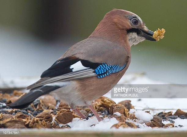 An Eurasian Jay picks a nut at a birds' feeding point in Sieversdorf northeastern Germany on December 5 2010 AFP PHOTO PATRICK PLEUL GERMANY OUT