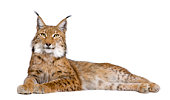Eurasian Lynx (5 years old) in front of a white background.