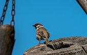 An eurasian tree sparrow sitting on a piece of wood