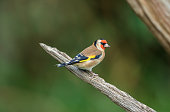 The European goldfinch or goldfinch, is a small passerine bird in the finch family that is native to Europe, North Africa and western Asia. It has been introduced to other areas including Australia, N