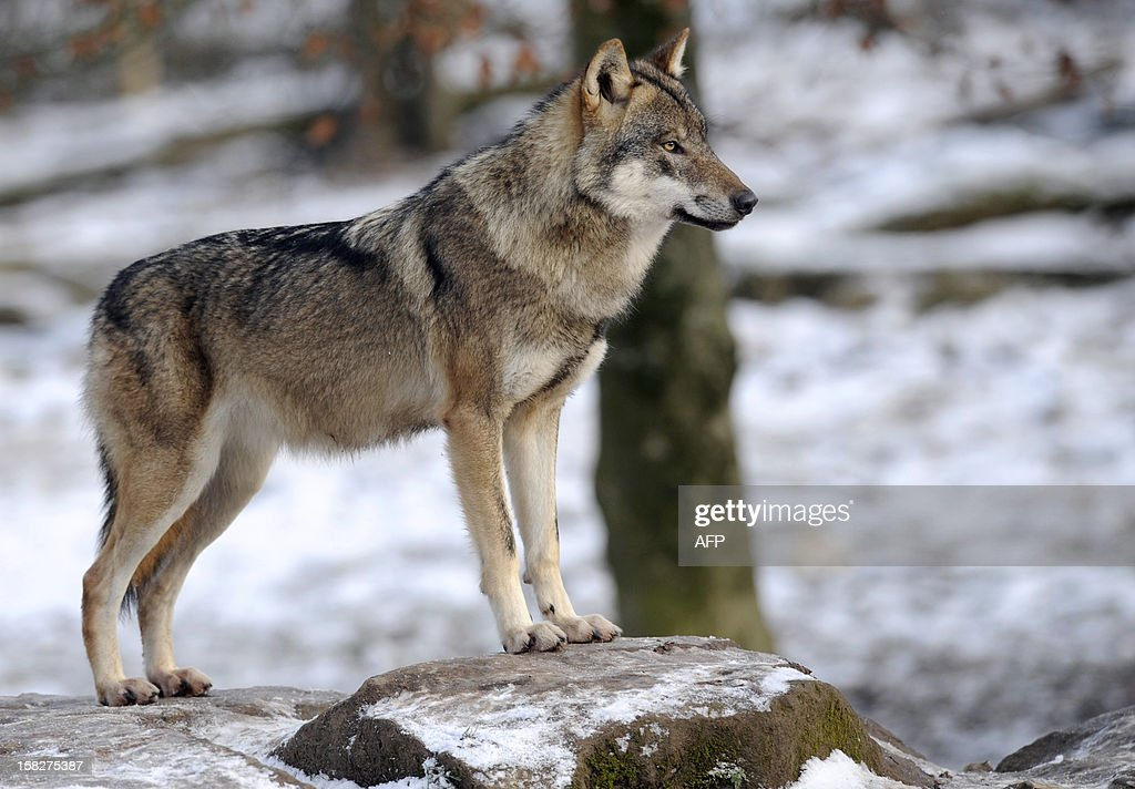 An European grey wolf is pictured in the animal park of Sainte-Croix, on December 12, 2012, in Rhodes, eastern France. AFP PHOTO / JEAN-CHRISTOPHE VERHAEGEN