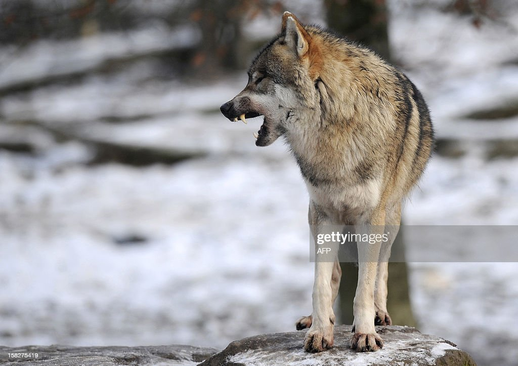 An European grey wolf is pictured in the animal park of Sainte-Croix, on December 12, 2012, in Rhodes, eastern France.