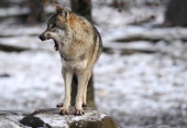 An European grey wolf is pictured in the animal park of SainteCroix on December 12 in Rhodes eastern France AFP PHOTO / JEANCHRISTOPHE VERHAEGEN