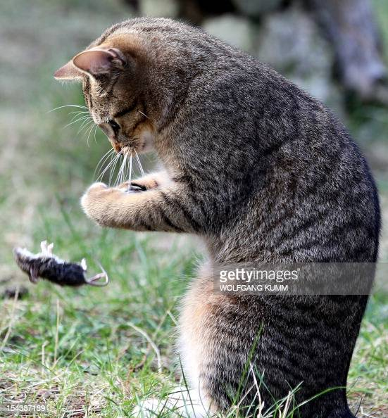 An European shorthair cat plays with its booty in a graden in Berlin Germany on April 18 2012 Due to their ability to hunt mouses and other vermin...