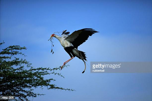 an exotic african crane is landing in a tree carrying a branch in its mouth