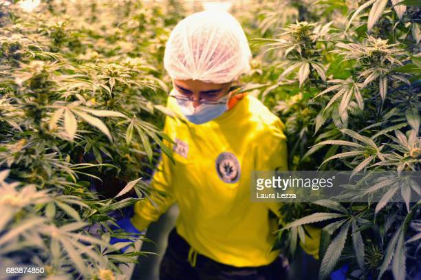 An expert grower woman employee works in a greenhouse with cannabis produced by the Italian Army at Stabilimento Chimico Farmaceutico Militare on May...