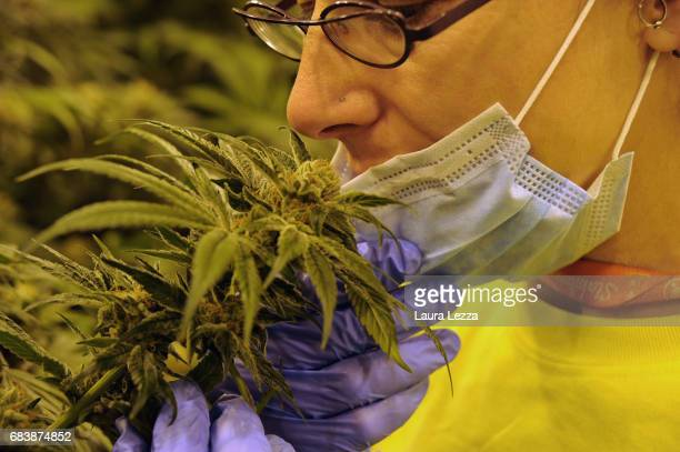 An expert grower woman works in a greenhouse with cannabis produced by the Italian Army at Stabilimento Chimico Farmaceutico Militare on May 16 2017...