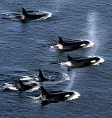 An explosive cloud of mist and vapor hang in the air as an armada of orca whales surface to breath as they swim close to shore near Lim Kiln State...