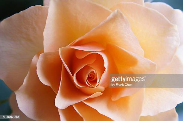 An Exquisite Rose Flower, Perfectly Formed