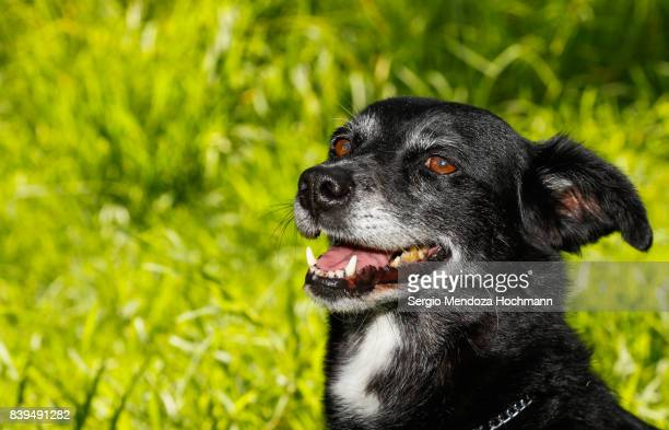 An happy older, black, mixed-breed dog in a dog shelter in Mexico City