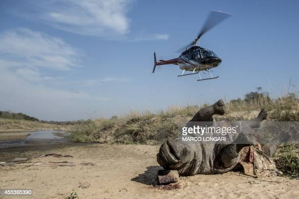 An helicopter takes off from as the carcass of a poached and mutilated white rhino is seen laying on the banks of a river at Kruger National Park...