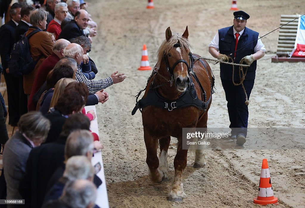 An horse trainer leads a Schleswig Kaltblut stallion last onlookers during a presentation at the 2013 Gruene Woche agricultural trade fair on January 18, 2013 in Berlin, Germany. The Gruene Woche, which is the world's largest agricultural trade fair, runs from January 18-27, and this year's partner country is Holland.