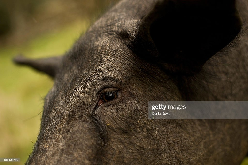An Iberian Pig feeds on fallen acorns at the farm of Faustino Prieto in the village of Cespedosa on December 14, 2012 near Salamanca, Spain. Dry-cured Iberian ham or Jamon Iberico is a favourite amongst Spaniards and producers are hoping for improved sales over the busy christmas period. The jamon legs are usually dry-cured for up to three years after the pigs have been few on a diet of acorns in the last three months of their lives.