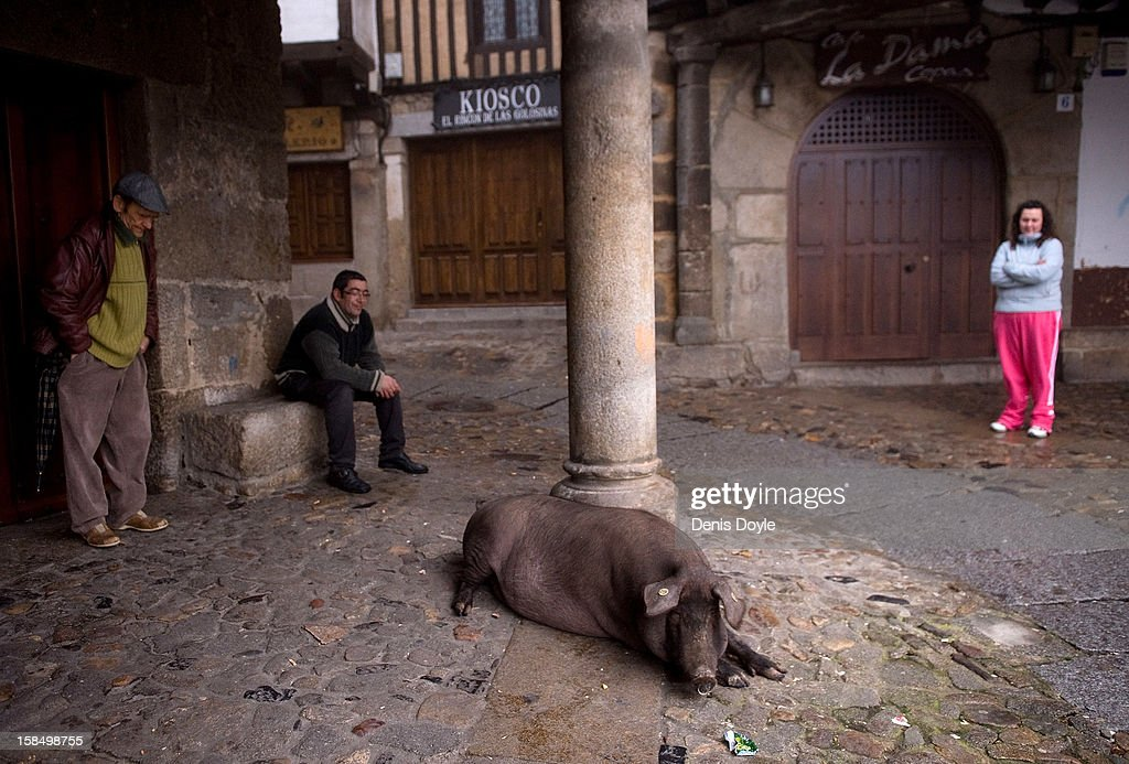 An Iberian pig rests near villagers in La Alberca on December 14, 2012 near Salamanca, Spain. The pig is free to roam in the village until it is sacrificed on January 21st in a village raffle with the proceeds going to a local charity. Dry-cured Iberian ham or Jamon Iberico is a favourite amongst Spaniards and producers are hoping for improved sales over the busy christmas period.
