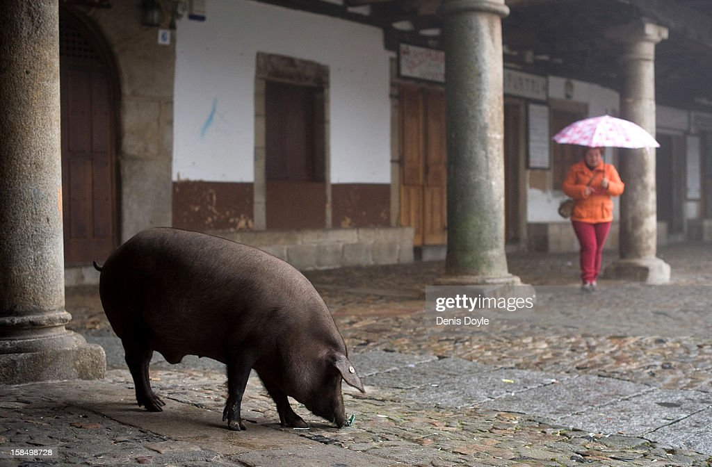 An iberian pig sniffs while looking for food in the village of La Alberca on December 14, 2012 near Salamanca, Spain. The pig is free to roam in the village until it is sacrificed on January 21st in a village raffle with the proceeds going to a local charity. Dry-cured Iberian ham or Jamon Iberico is a favourite amongst Spaniards and producers are hoping for improved sales over the busy christmas period.