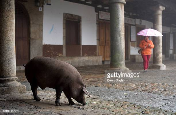 An iberian pig sniffs while looking for food in the village of La Alberca on December 14 2012 near Salamanca Spain The pig is free to roam in the...